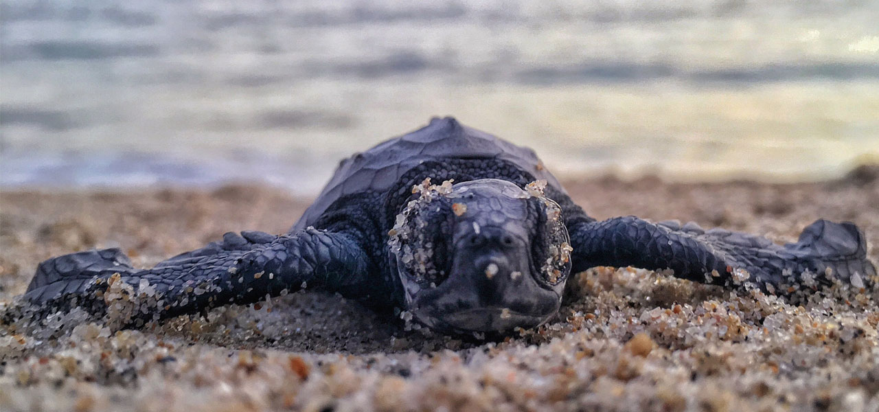 kalametiya-turtle-watching-sri-lanka